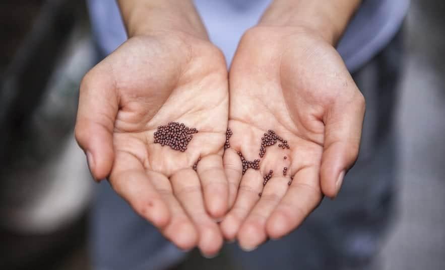 Antinutrienter – lektiner, enzymhämmare och fytater i spannmål, pseudospannmål och baljväxter